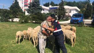 İstanbulda çalınan 39 küçükbaş, Tekirdağda bulundu